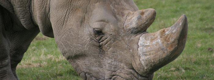 rhino-horncrop